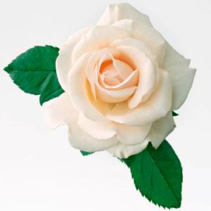 roza-belaya